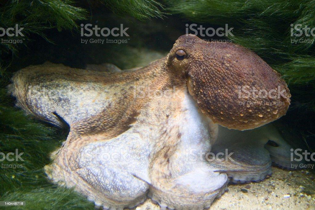 Octopus royalty-free stock photo