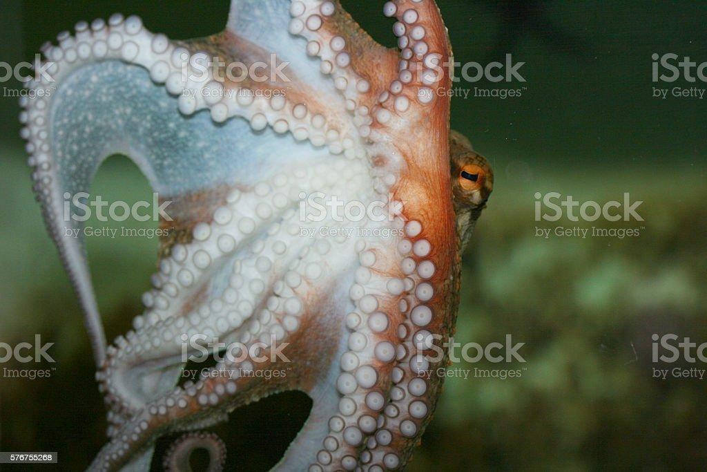 octopus   (Octopoda) stock photo