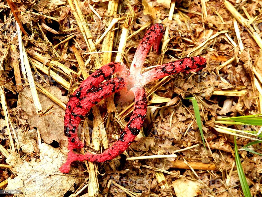 Octopus Stinkhorn stock photo