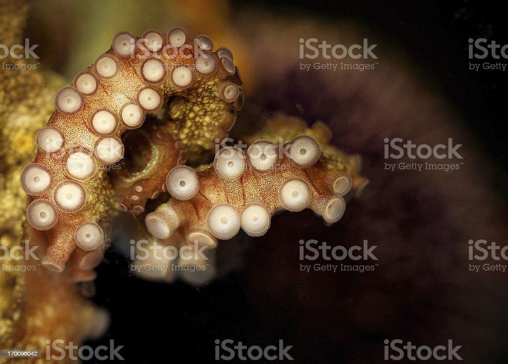 Octopus tentacular suckers stock photo