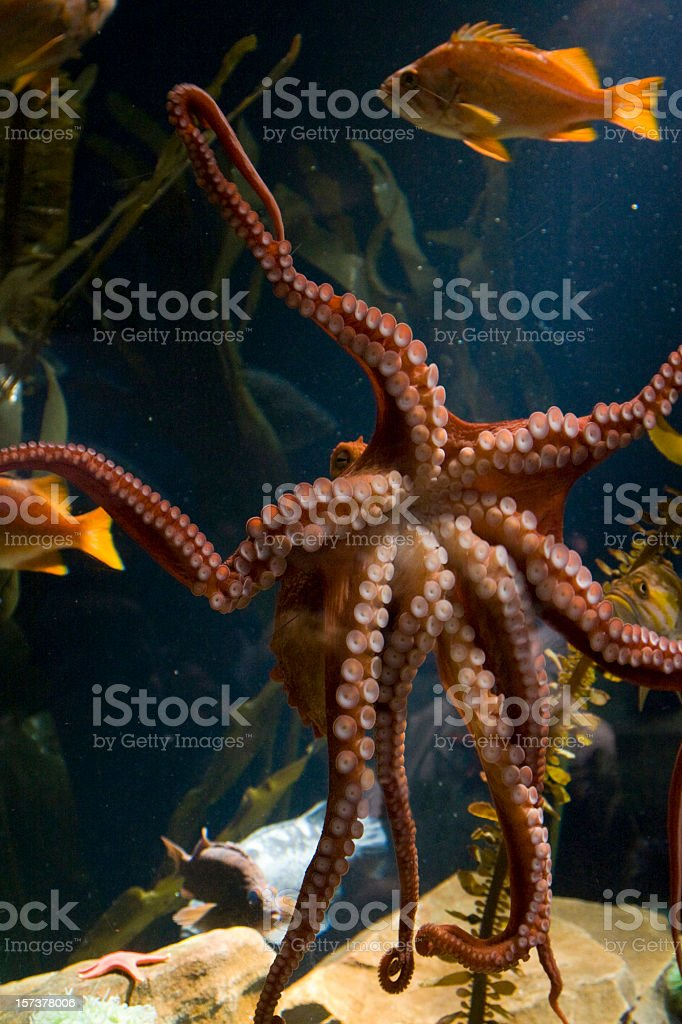 Octopus underwater royalty-free stock photo