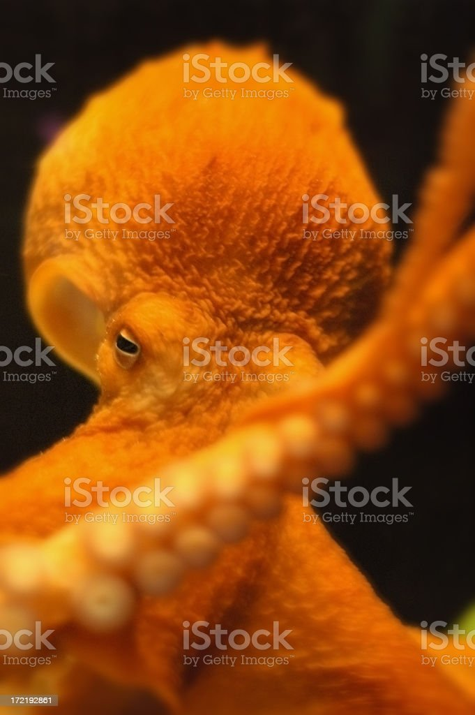 Octopus up close royalty-free stock photo