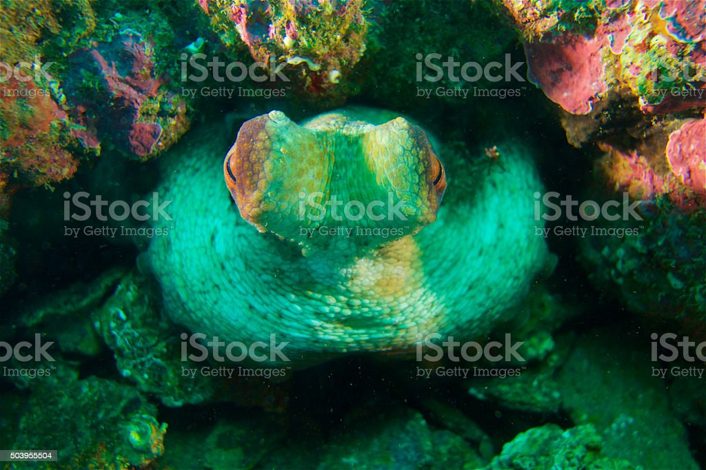 Octopus-Poulpe (Octopus vulgarus) stock photo