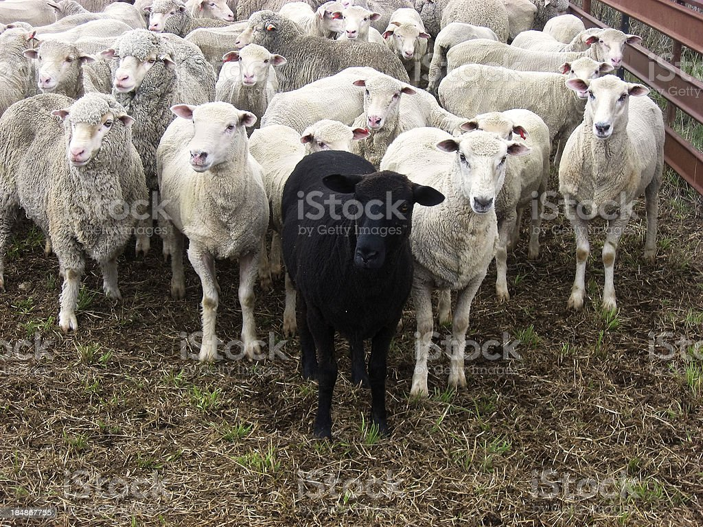 Odd one out: black sheep of family stock photo