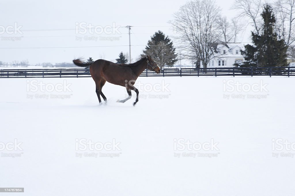 Odd stance from bucking horse in the snow. royalty-free stock photo