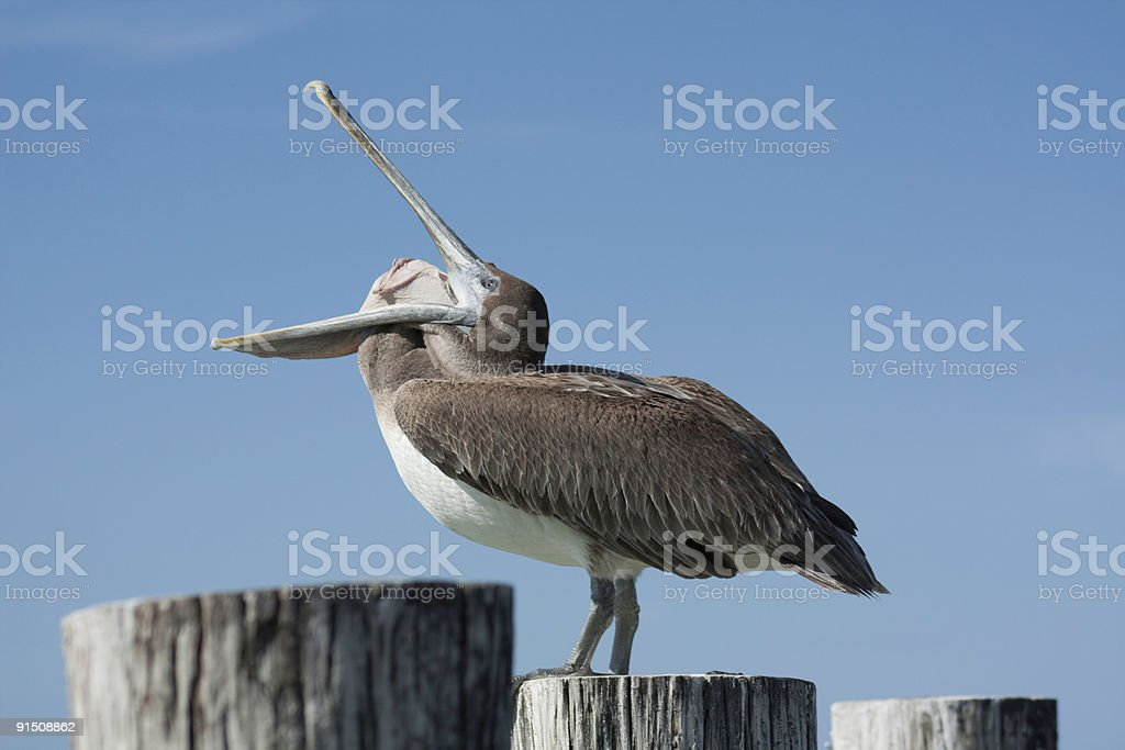 Oddball Pelican 2 stock photo