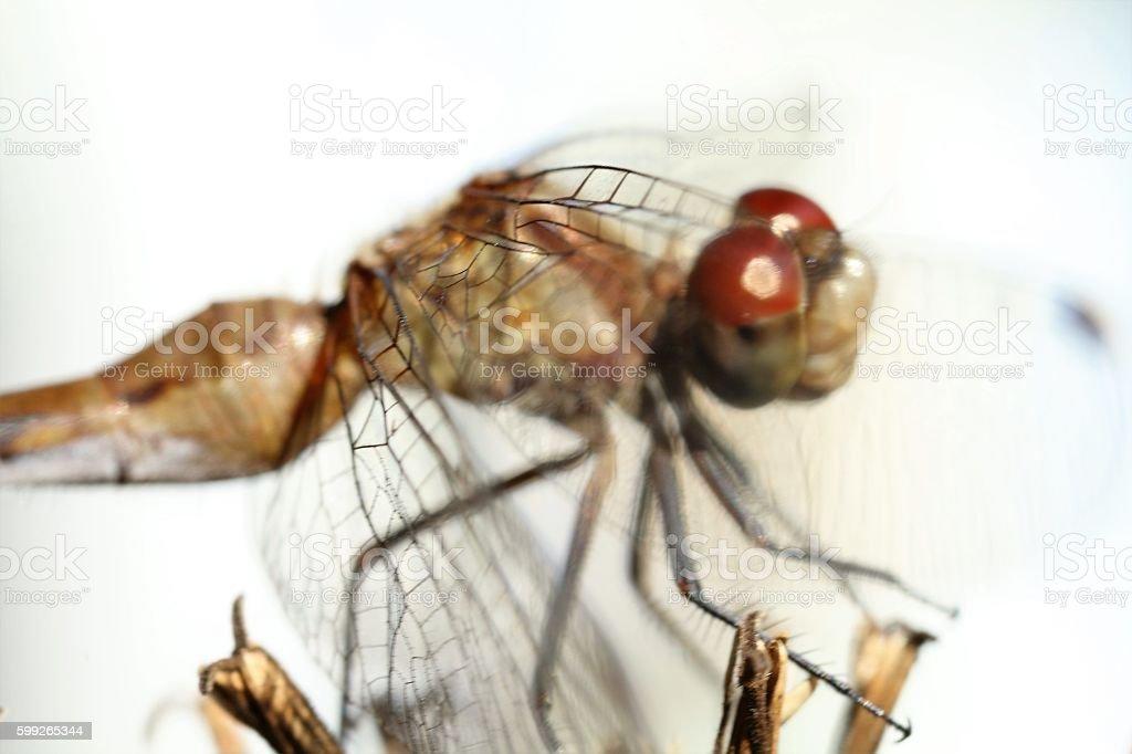 Odonata dragonfly stock photo