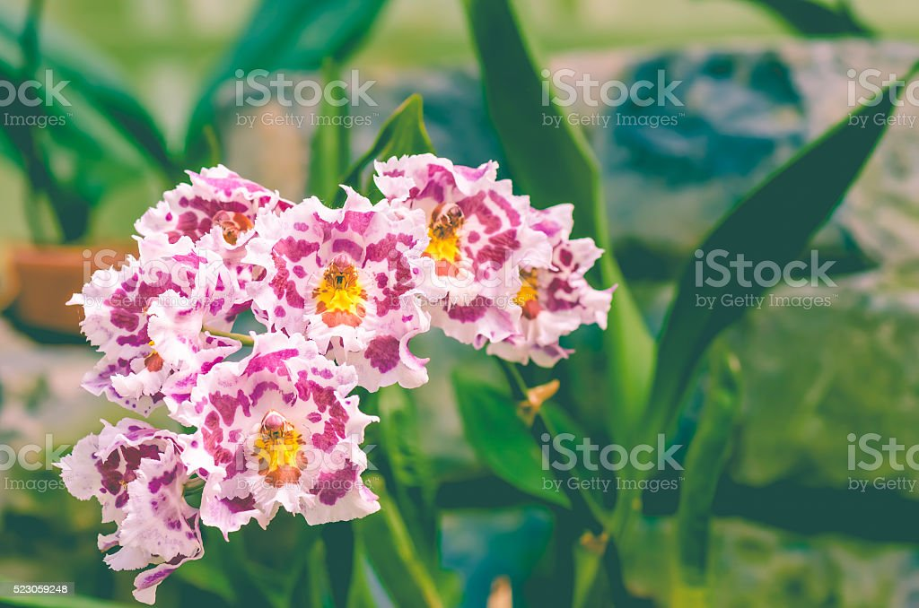 Odontoglossum CRISTOR 'North Country' Orchids stock photo