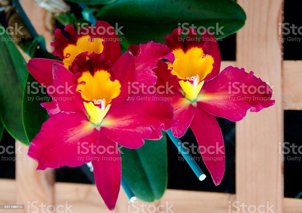Odontoglossum flowers in a garden near Volcano State Park stock photo
