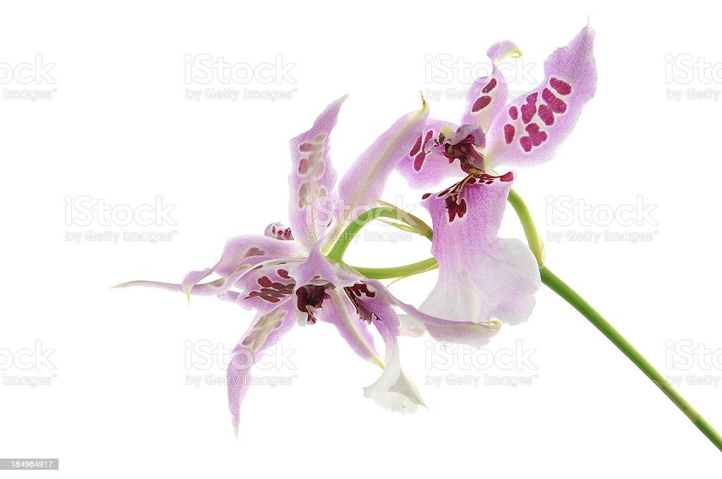 Odontoglossum orchid isolated on white background stock photo