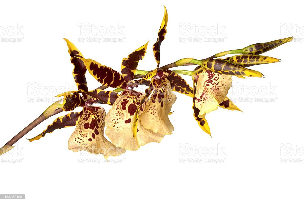 odontoglossum orchid isolated stock photo