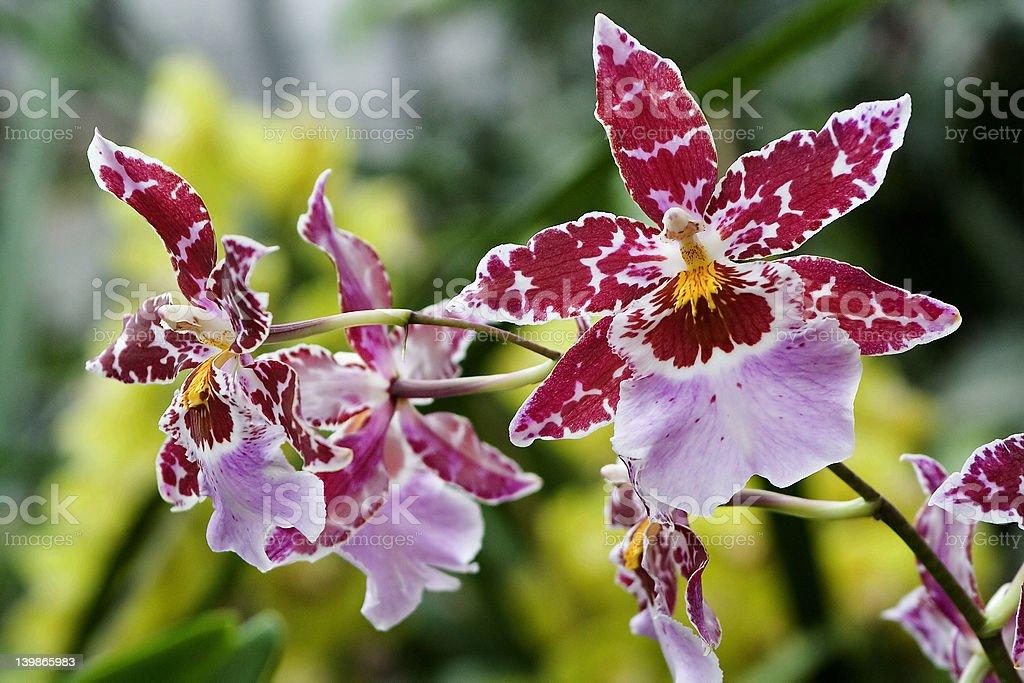 Odontoglossum, Orchid stock photo