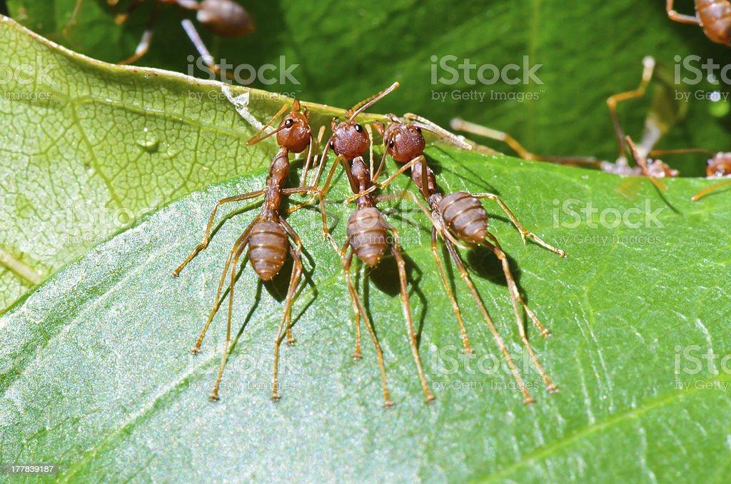 Oecophylla smaragdina ( Weaver Ant and Orange Gaster) royalty-free stock photo