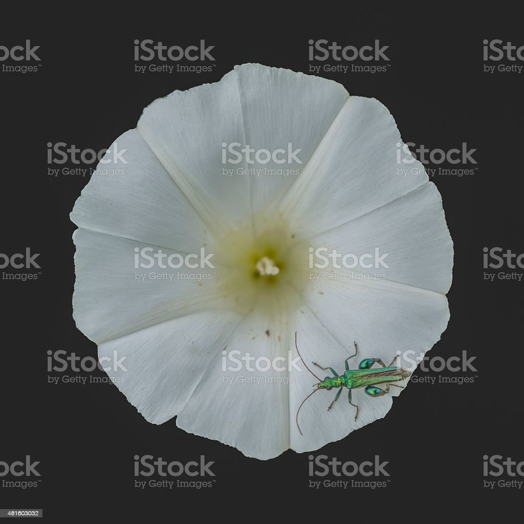 Oedemera nobilis on a flower with bindweed stock photo