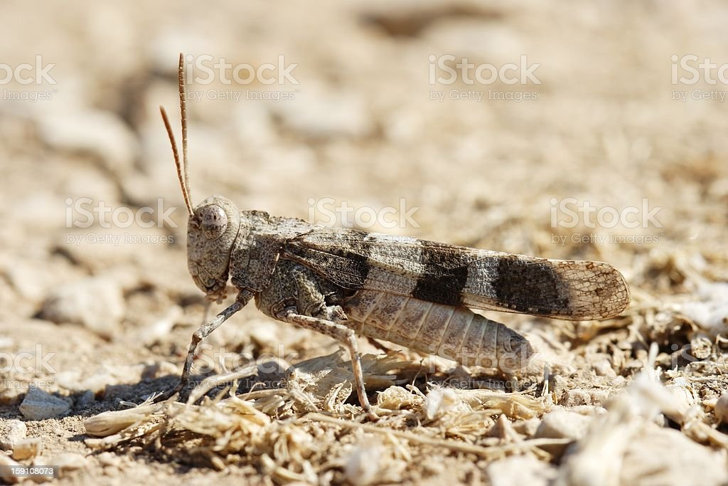 Oedipoda carulescens stock photo