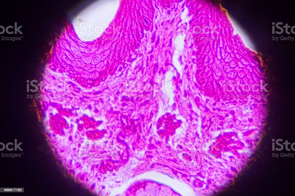 oesophagus cross section tissue in microscope stock photo