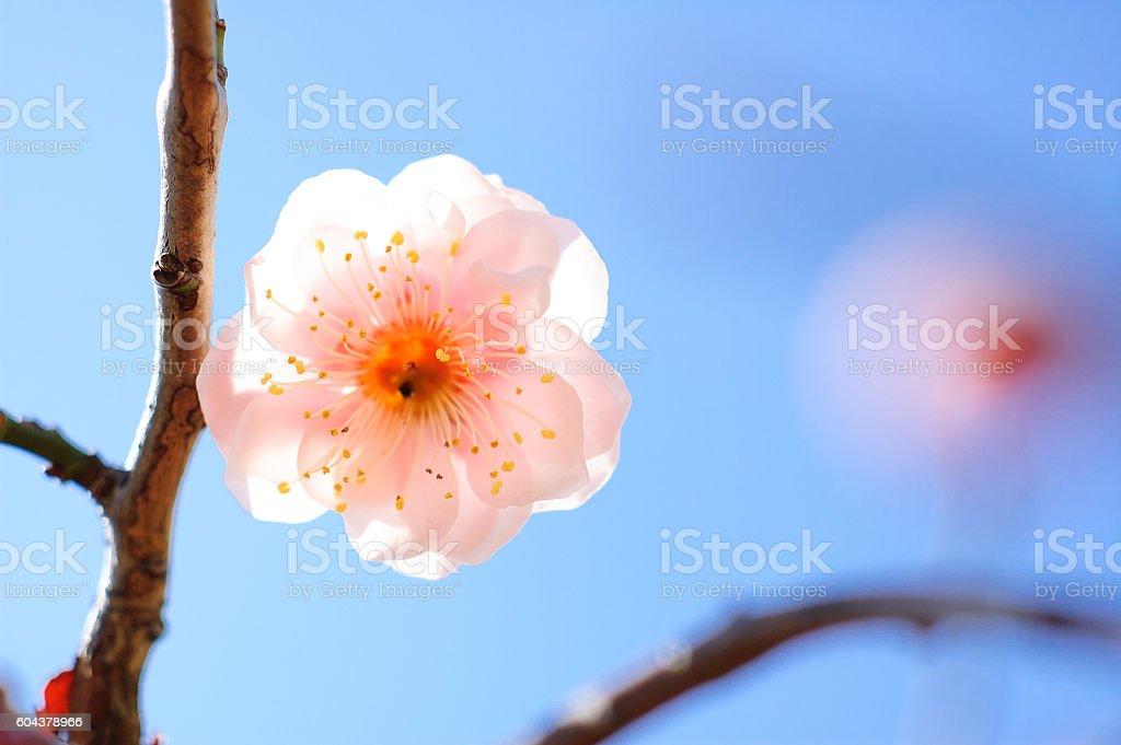 Of blue sky back white plum stock photo