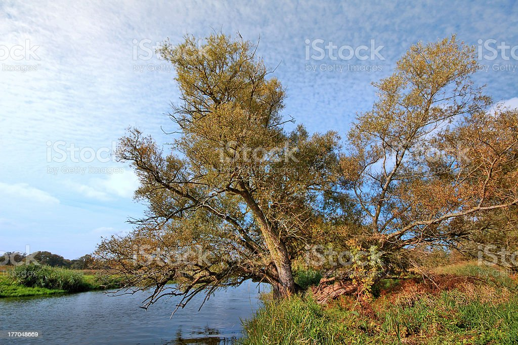 HDR of typical  willow tree at Havel River stock photo