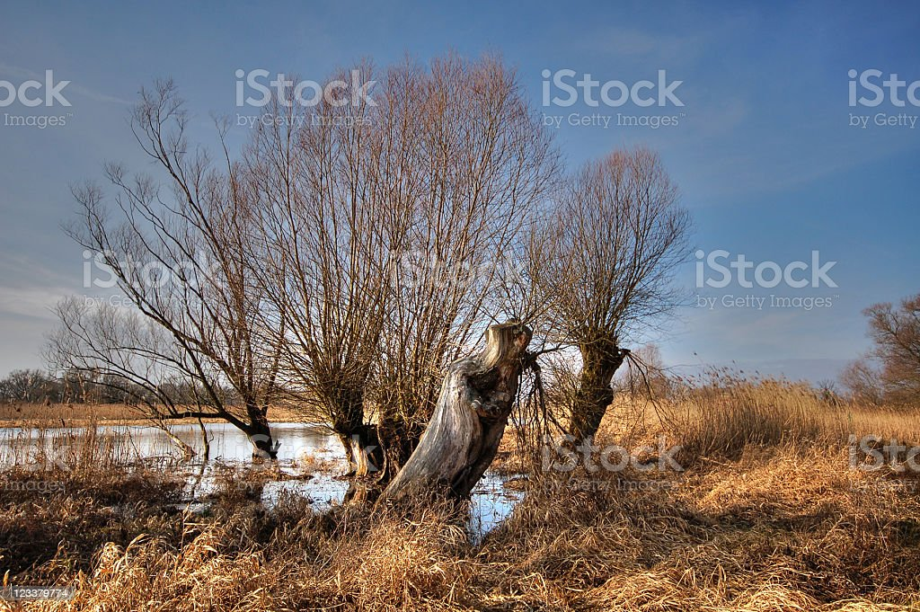 HDR of typical willow tree stock photo