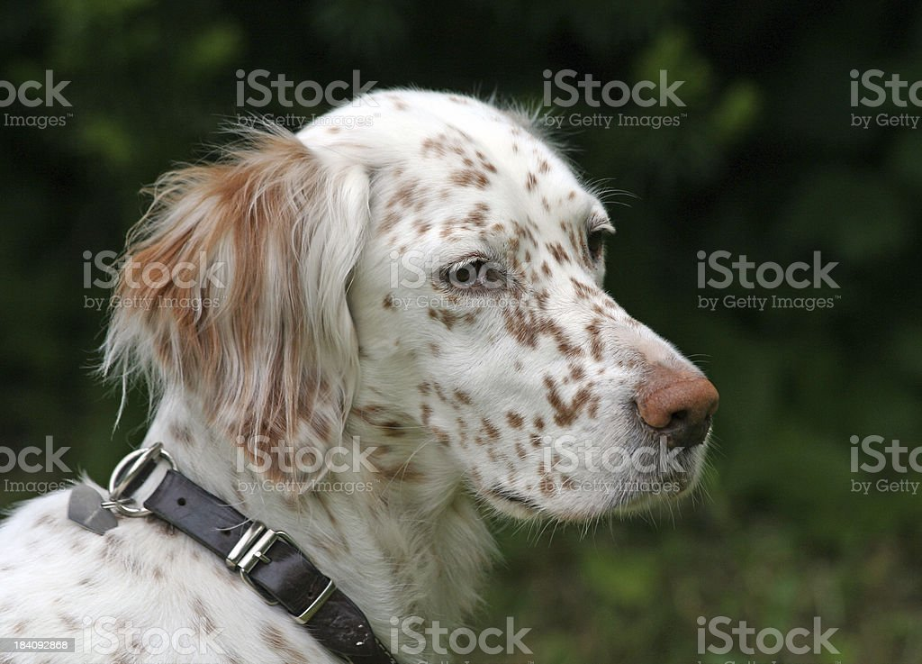 Offended dog, English setter royalty-free stock photo