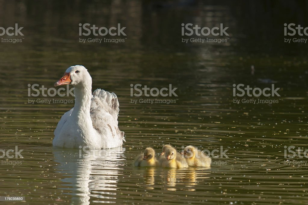 offspring of geese royalty-free stock photo