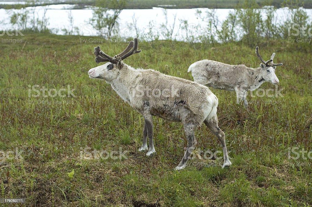Oh Deer stock photo