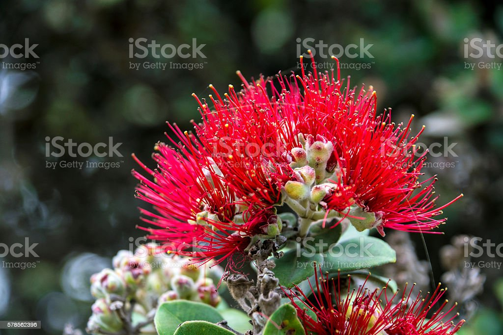 Ohiʻa lehua tree flower stock photo