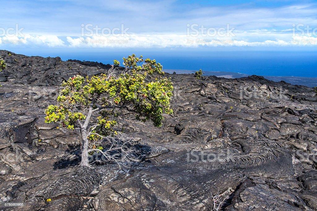 Ohiʻa lehua tree stock photo