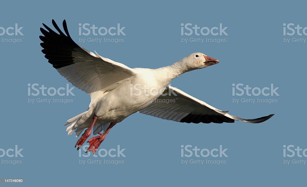Oie des neiges en vol- Snow Goose in flight stock photo