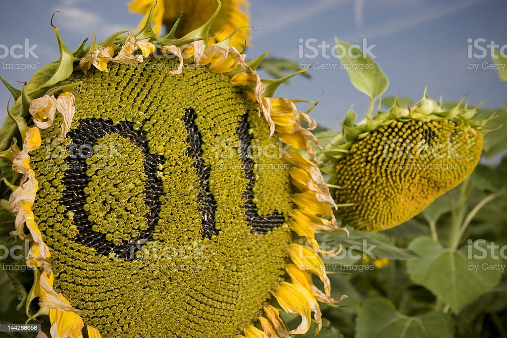 Oil from sunflower royalty-free stock photo