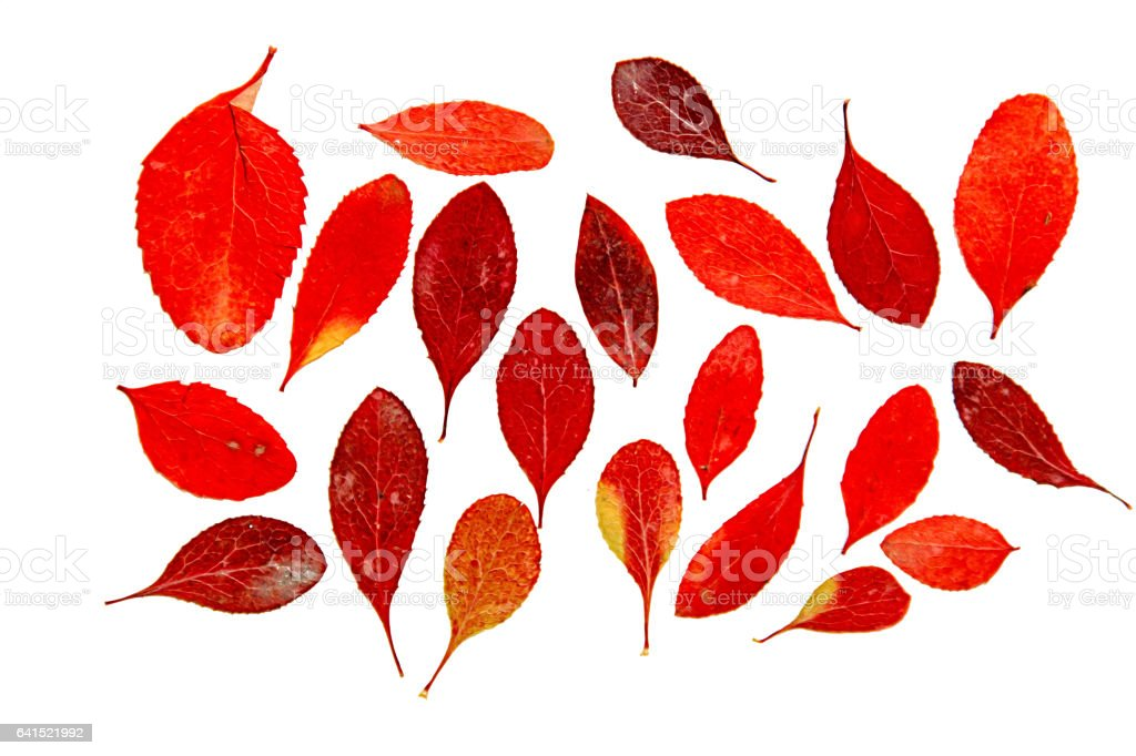 oil paint dry leaf of red barberry branch tree stock photo