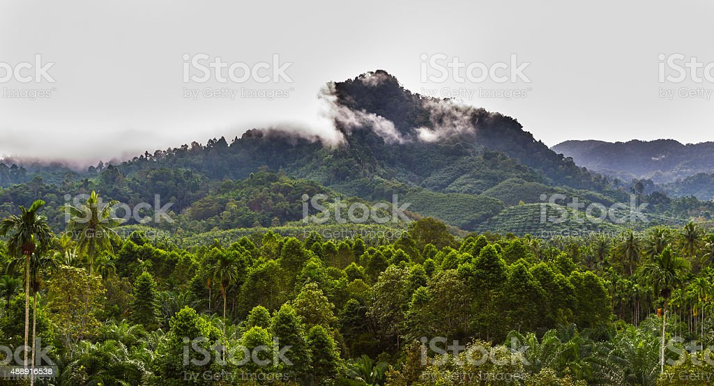 oil palm tree attack expand to the forest stock photo