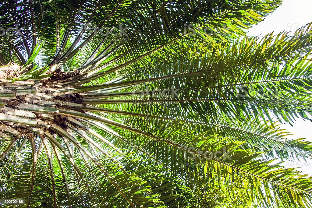 oil palm tree stock photo