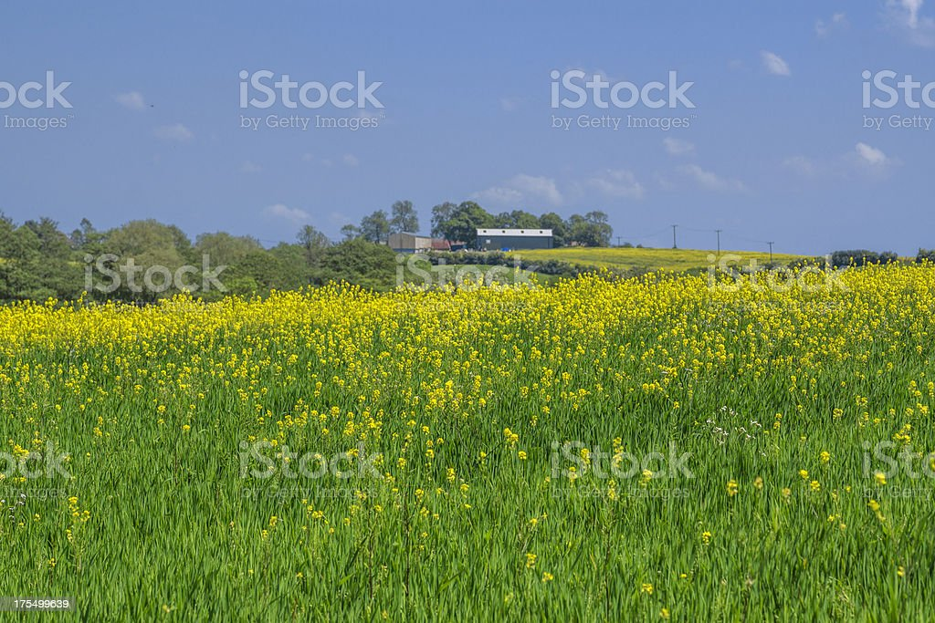 oil seed rape royalty-free stock photo