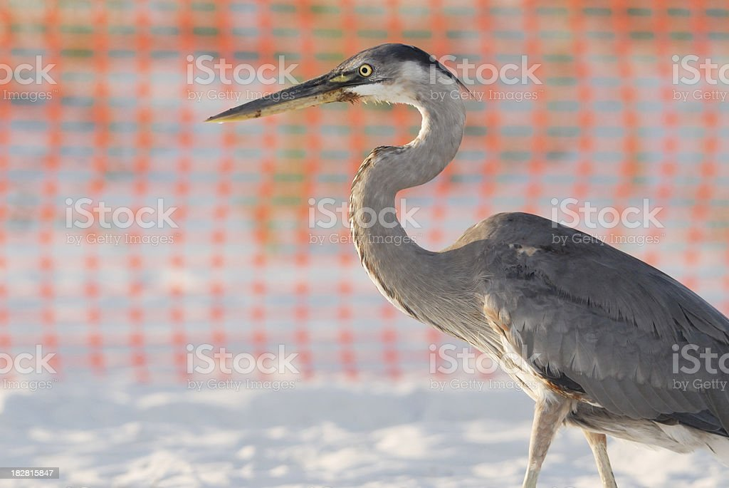 Oiled Blue Heron royalty-free stock photo