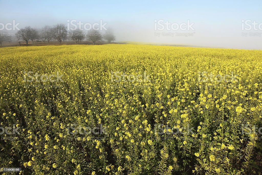 Oilseed field in morning light royalty-free stock photo