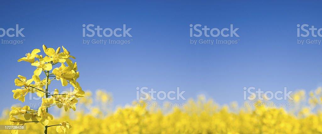 Oilseed Panoramic (XLarge) stock photo