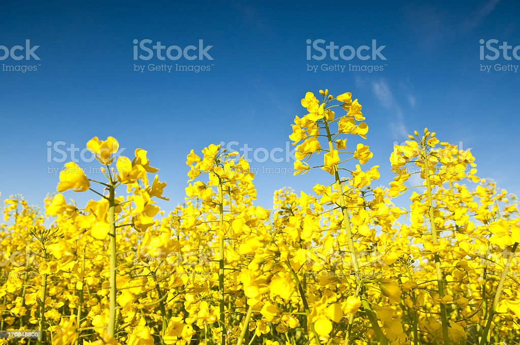 Oilseed Rape, Canola, Biodiesel Crop stock photo