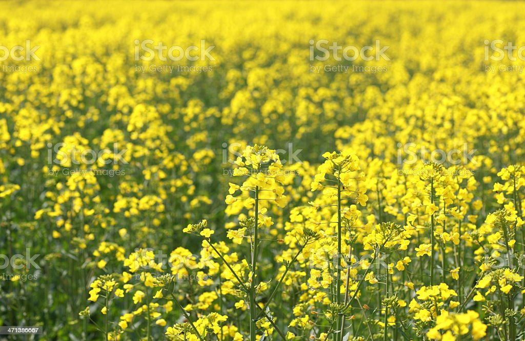 Oilseed Rape, Canola, Biodiesel Crop royalty-free stock photo