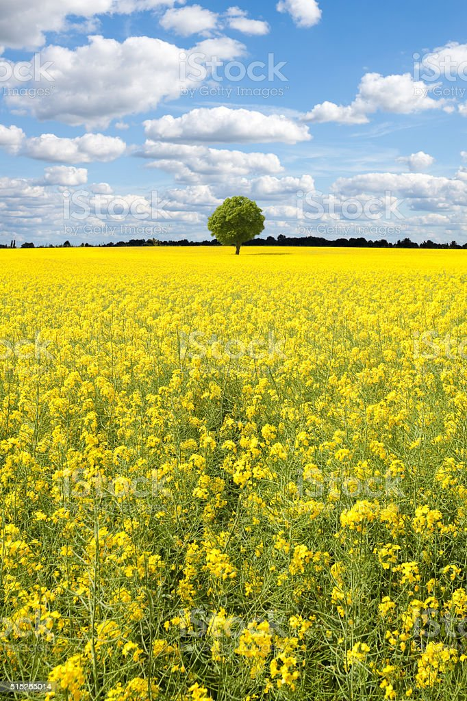 oilseed rape canola field stock photo