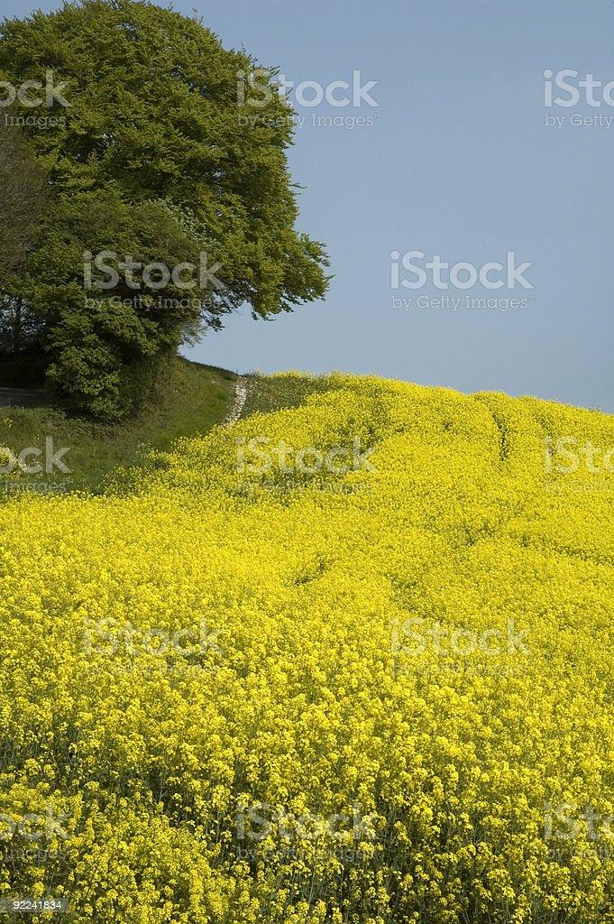 Oilseed Rape Crop. stock photo