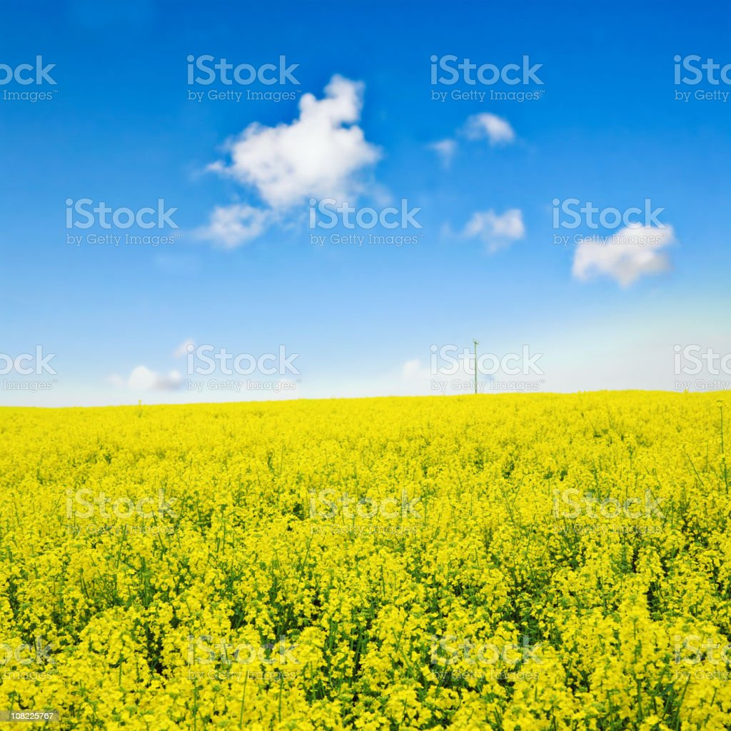 Oilseed Rape Field Against Blue Sky with Clouds royalty-free stock photo