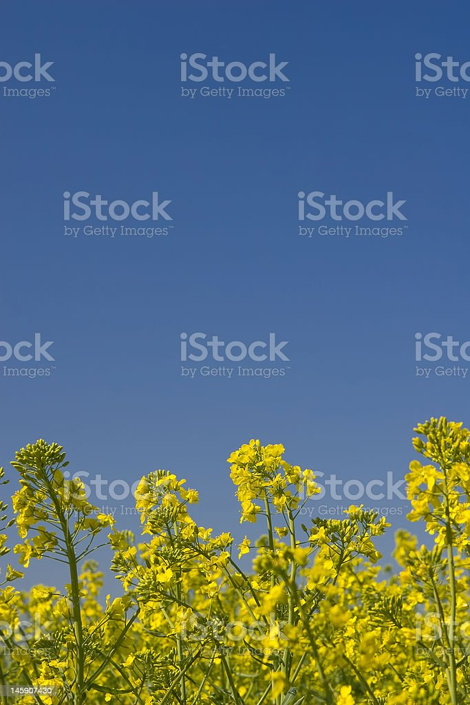 oilseed rape field during summer with blue sky royalty-free stock photo