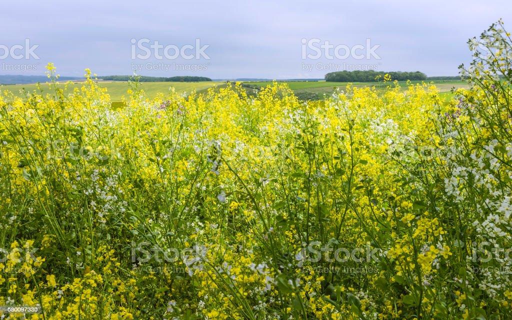Oilseed rape field in full bloom in spring. stock photo