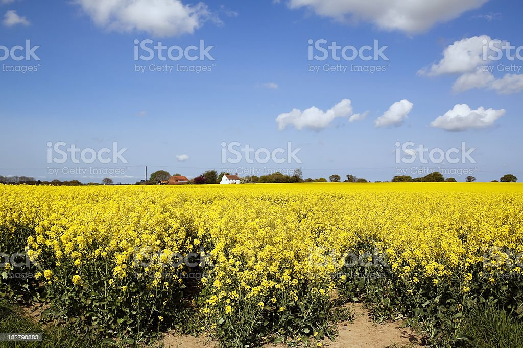 Oilseed rape field in rural Norfolk royalty-free stock photo