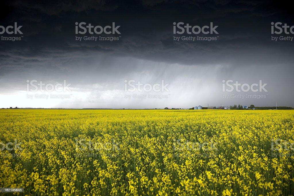 Oilseed Rape Field royalty-free stock photo