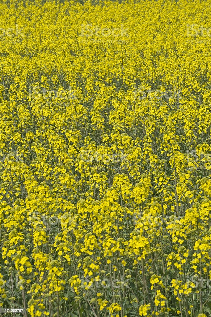 Oilseed rape field, vertical royalty-free stock photo