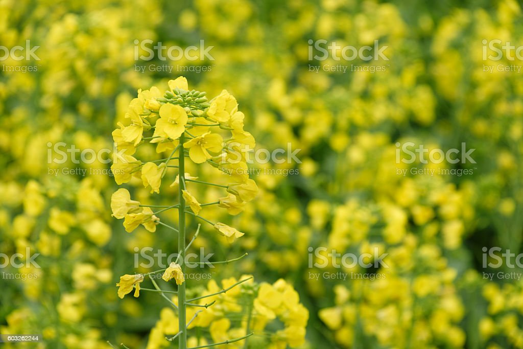 Oilseed rape flowers in the field stock photo