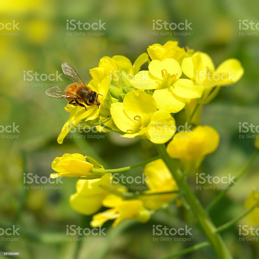 Oilseed rape flowers with bee stock photo