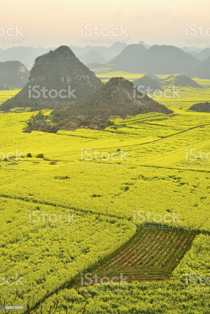Oilseed rape growing in the fields stock photo